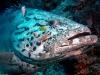 grouper_high