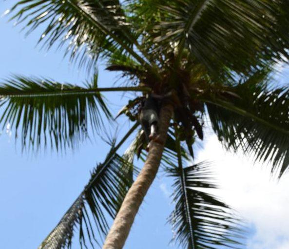 Die Kokosnuss an sich – Leben und Tod